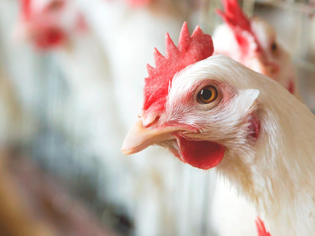 Aves sanas y fuertes, para productos de calidad